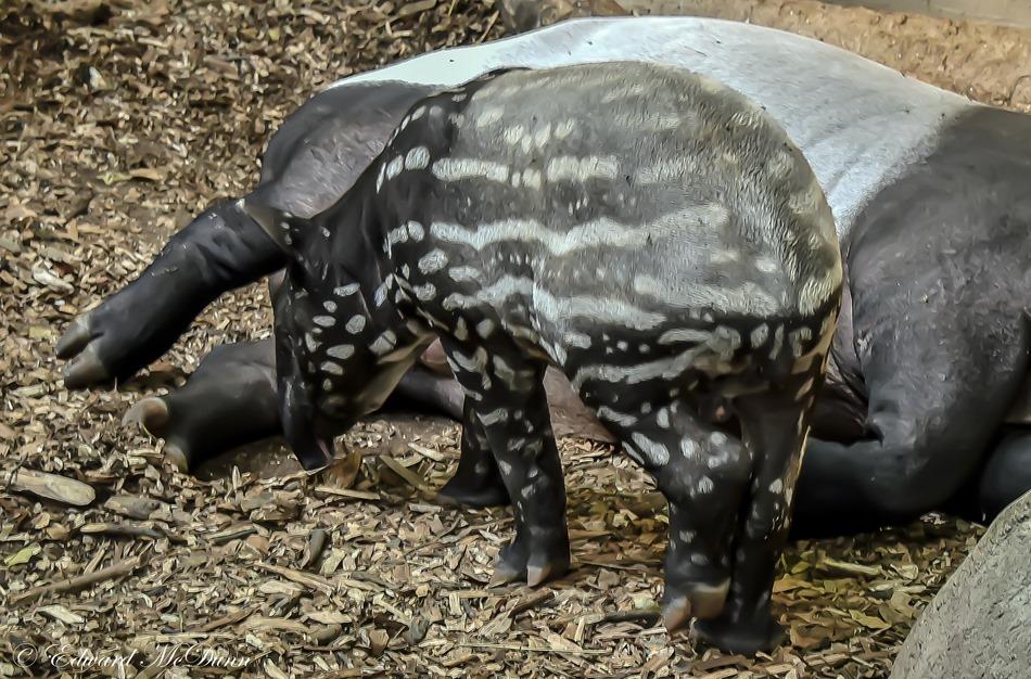 Tapir jong (1)