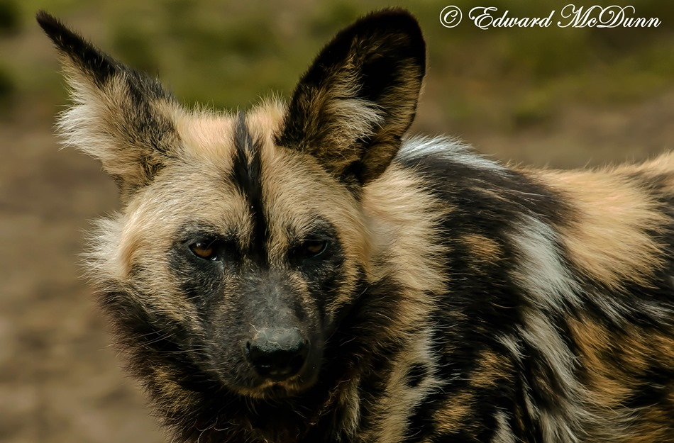Afrikaanse wilde hoond (1)