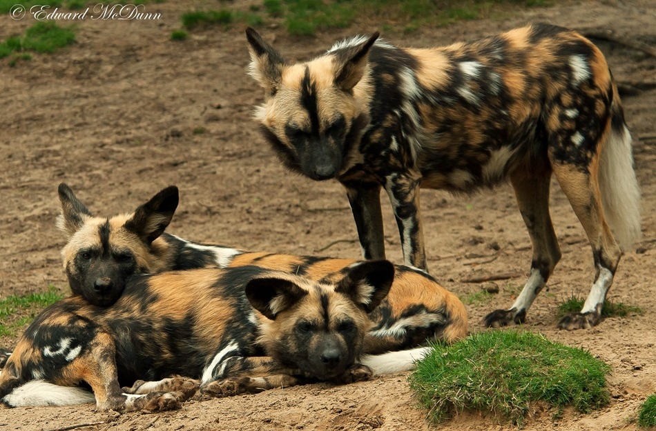 Afrikaanse wilde hoond (2)