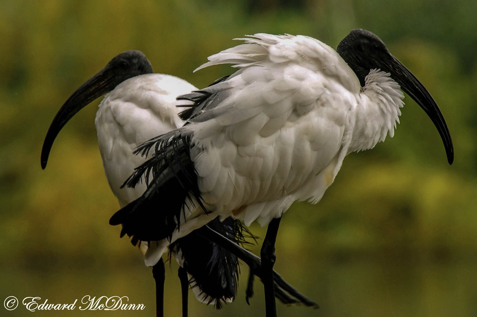 Heilige ibis (1)