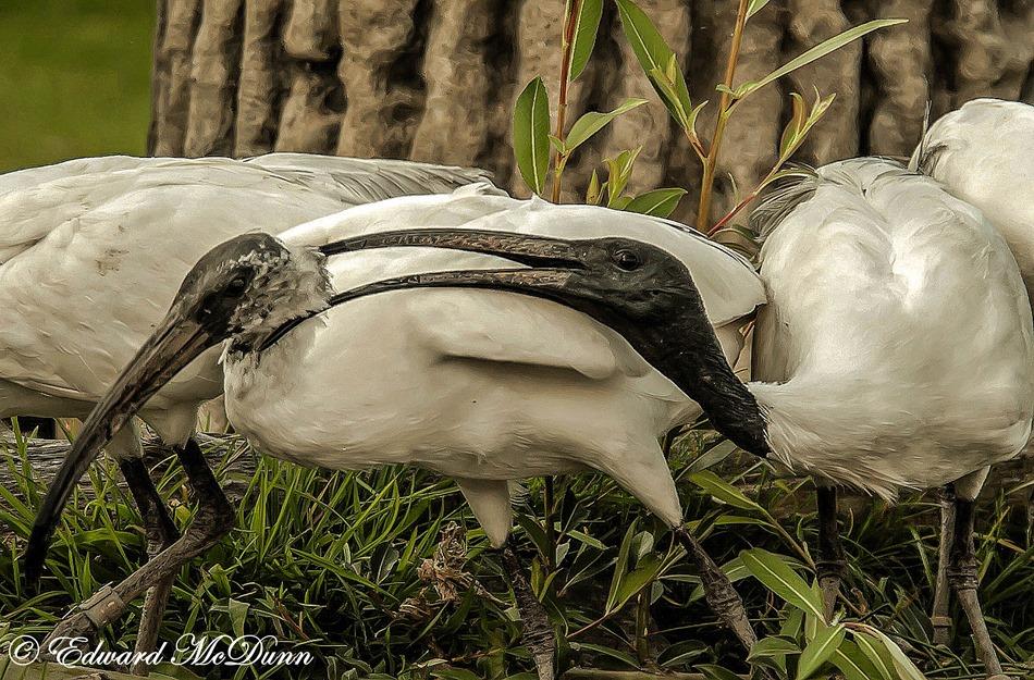 Heilige ibis (2)