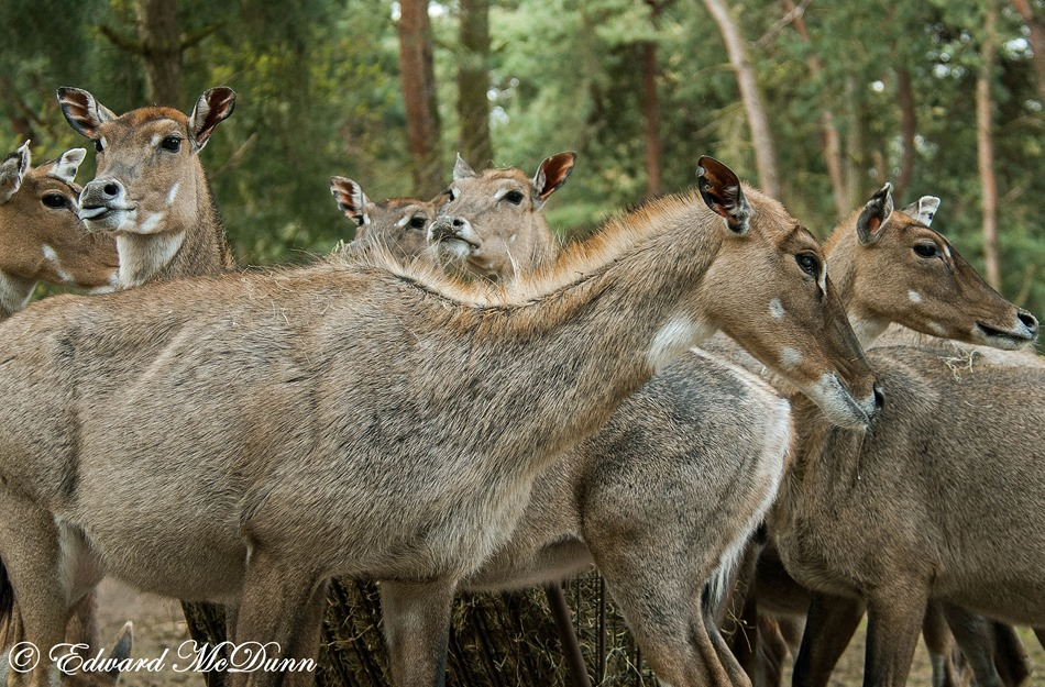Impala dames (1)