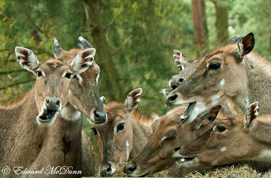 Impala dames (2)