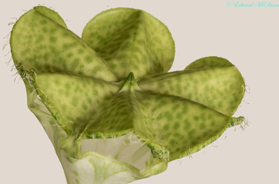 Afrikaanse parachute plant (3)
