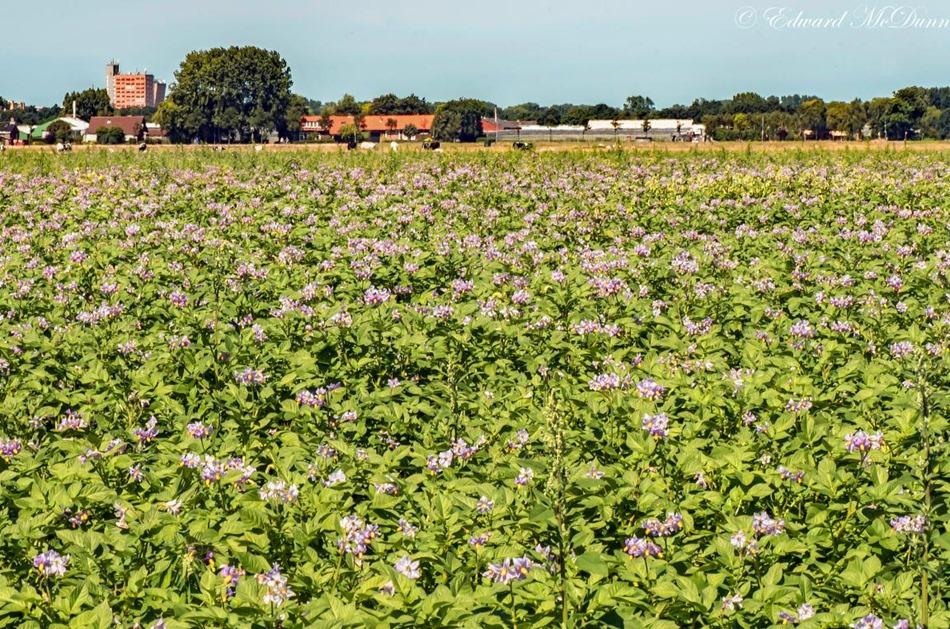 Aardappelveld in bloei (1)