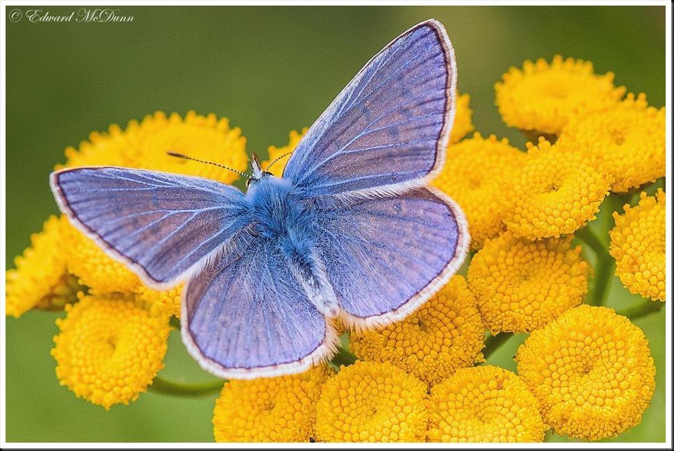 Icarus blauwtje mannetje