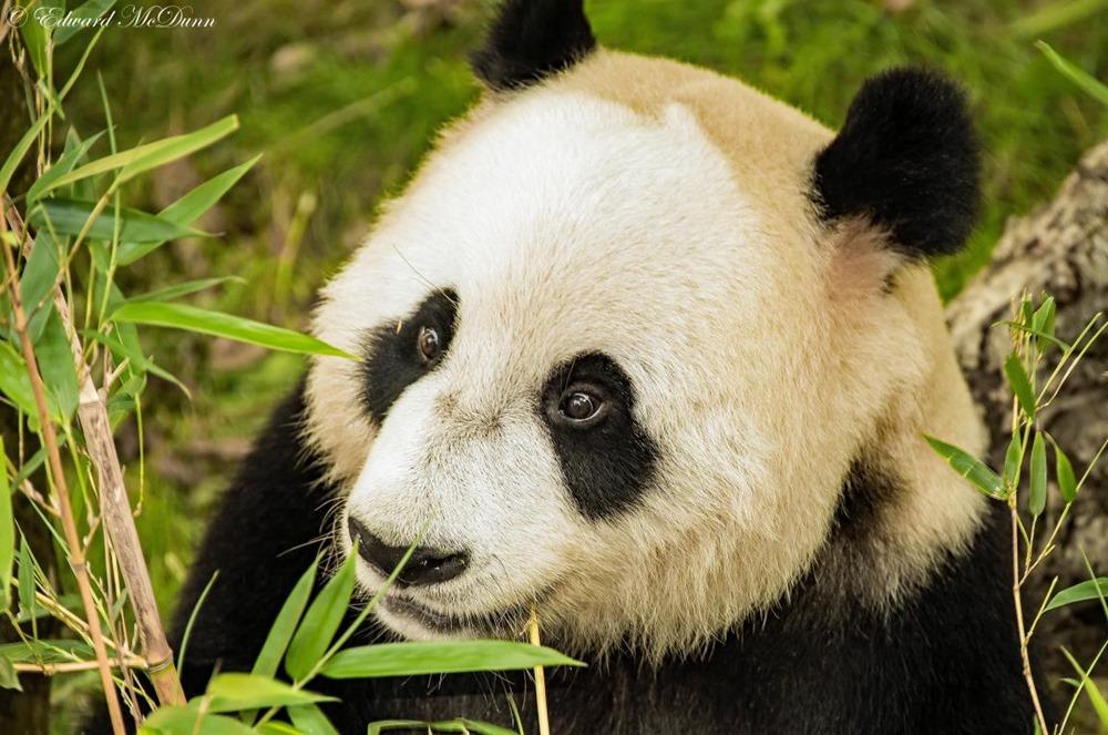 Reuzen panda (5)