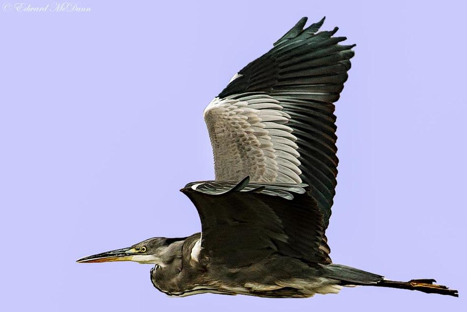 Grote vogel (2)