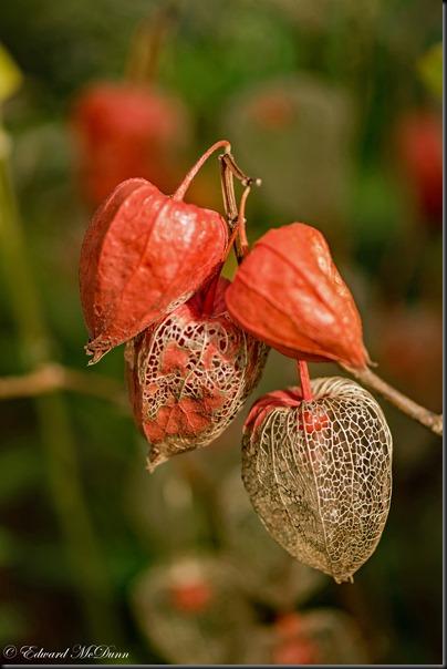 Echte lampionplant (2)