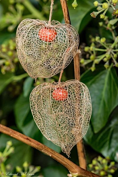Echte lampionplant (3)