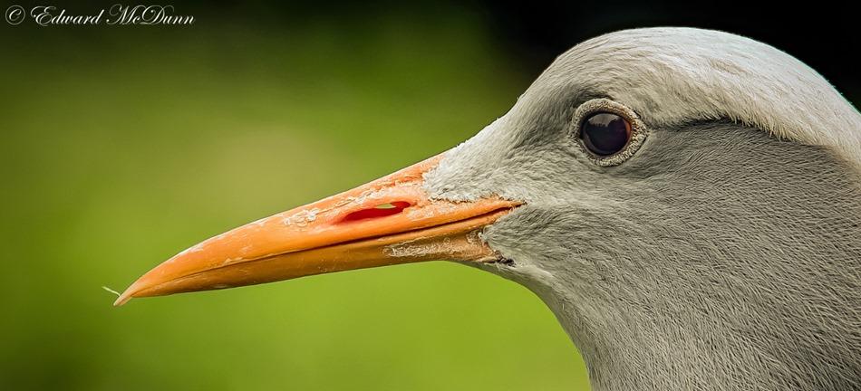 Stanleys kraanvogel  (2)