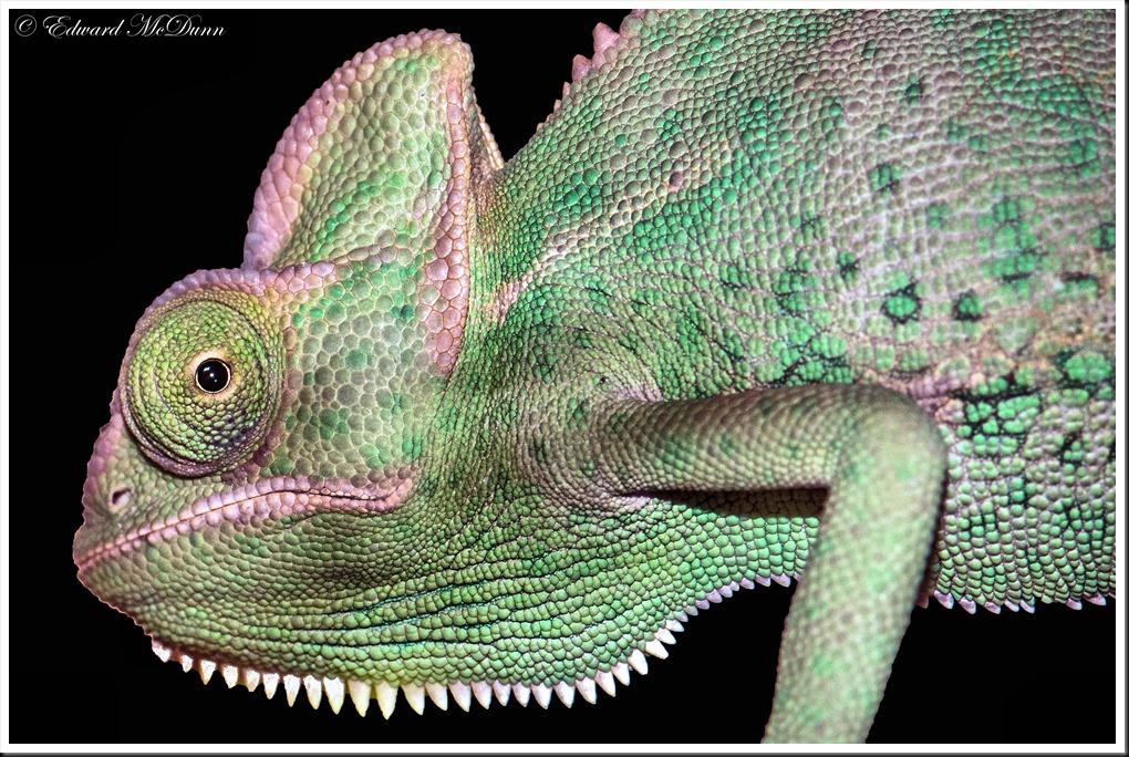 Kameleon (1)