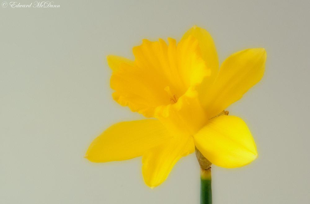 Narcissen (3)