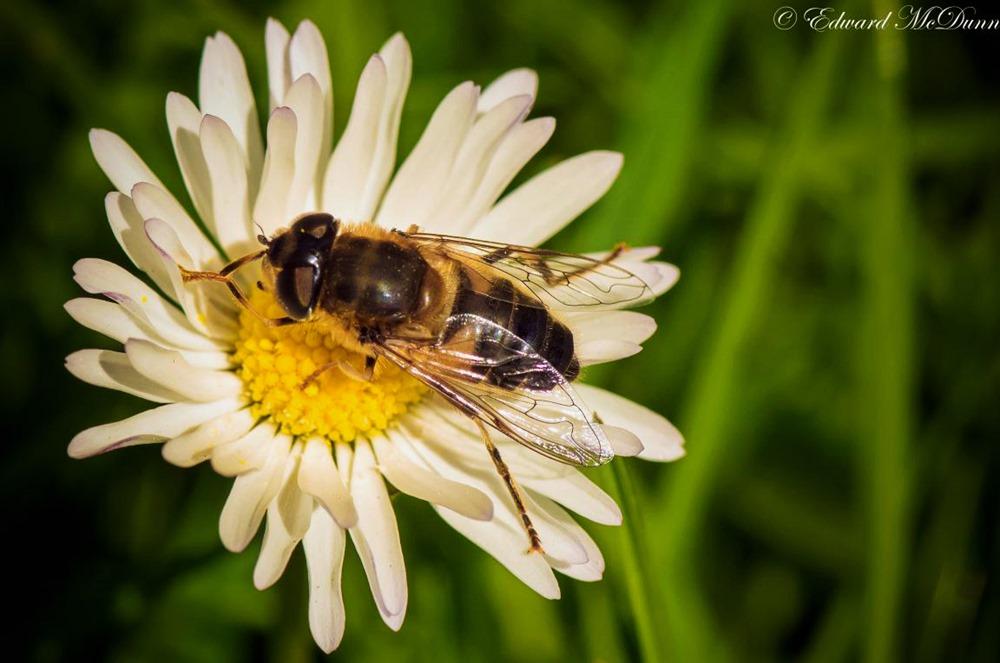 Bijen (1)