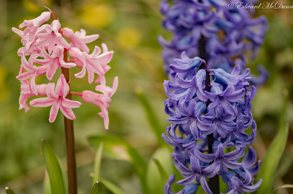 Hyacint (1)