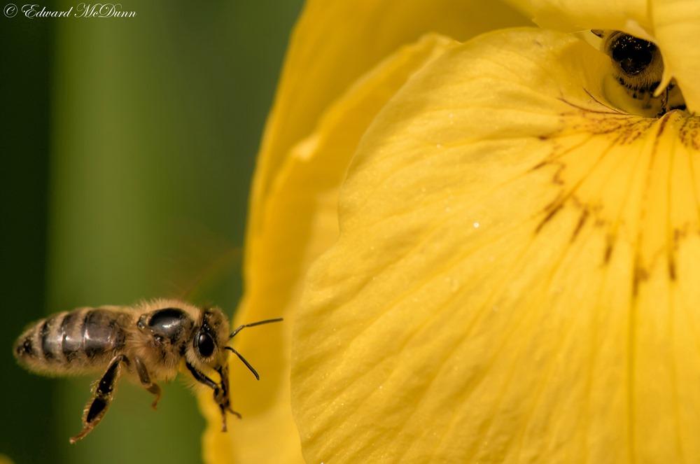 Gele lis (1)