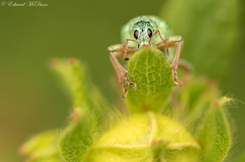 Groene bladsnuitkever (1)