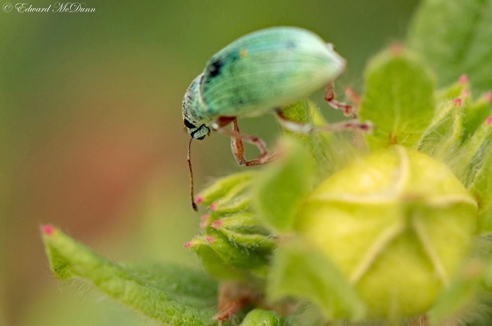 Groene bladsnuitkever (2)