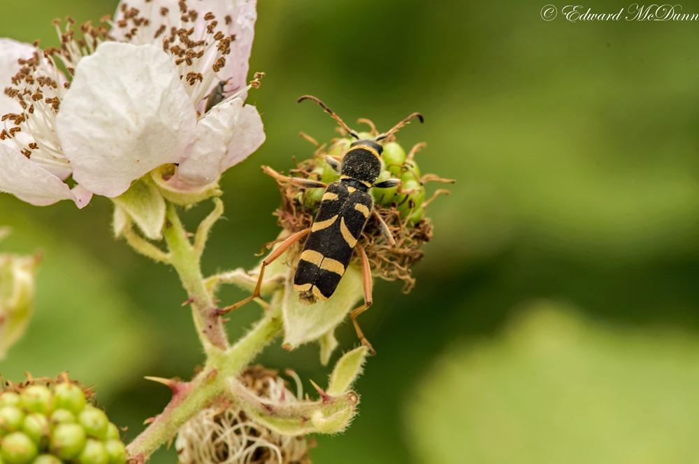 Kleine wespenbok (1)