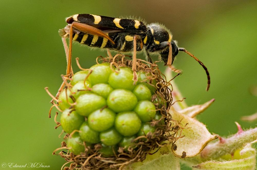 Kleine wespenbok (2)