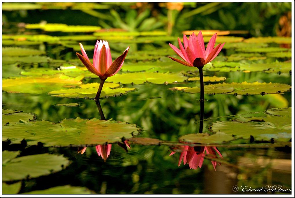Rode lotus 1
