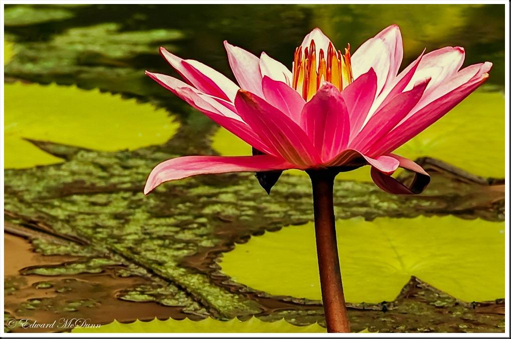 Rode lotus 2