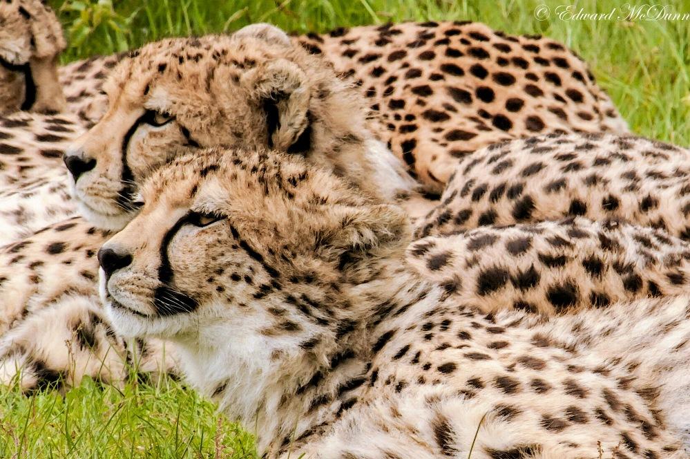 Cheeta (1)