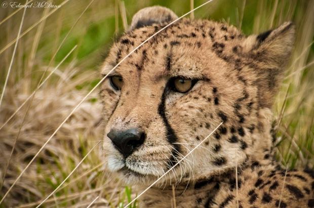 Cheeta (2)