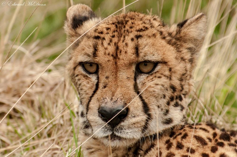 Cheeta (3)