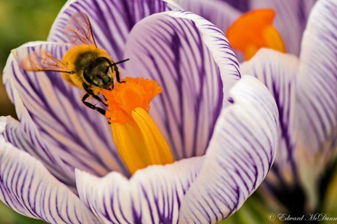 Bijen (3)