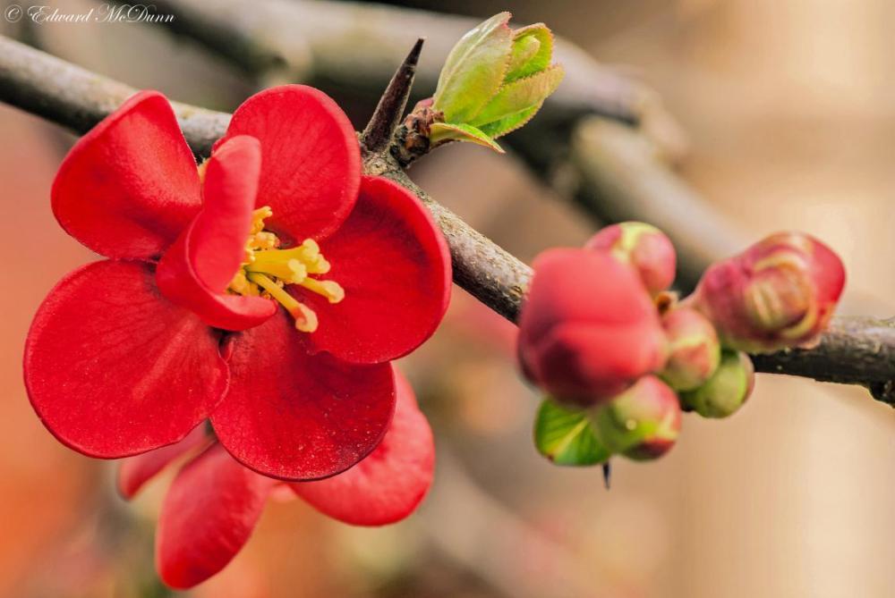 Japanse sierkwee (1)