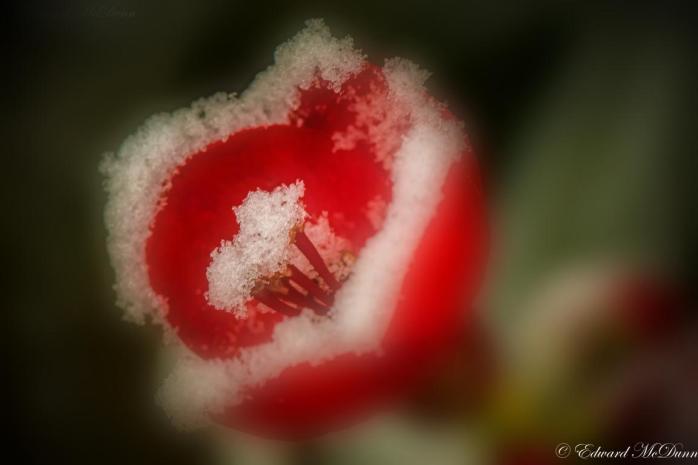 Japanse sierkwee (3)