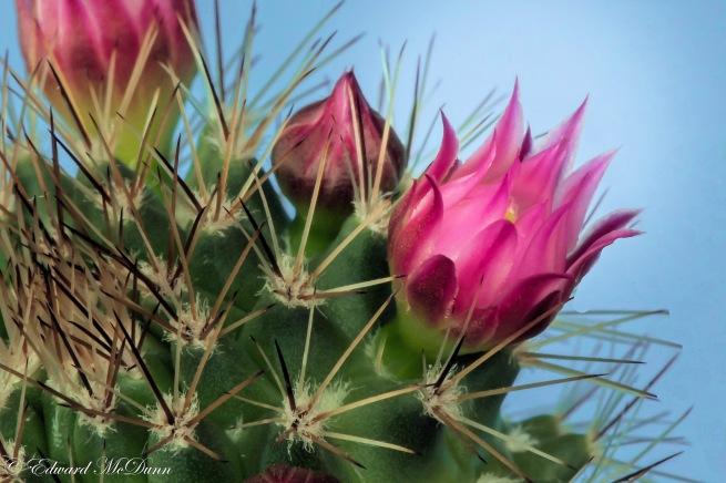Cactusbloemen (1)