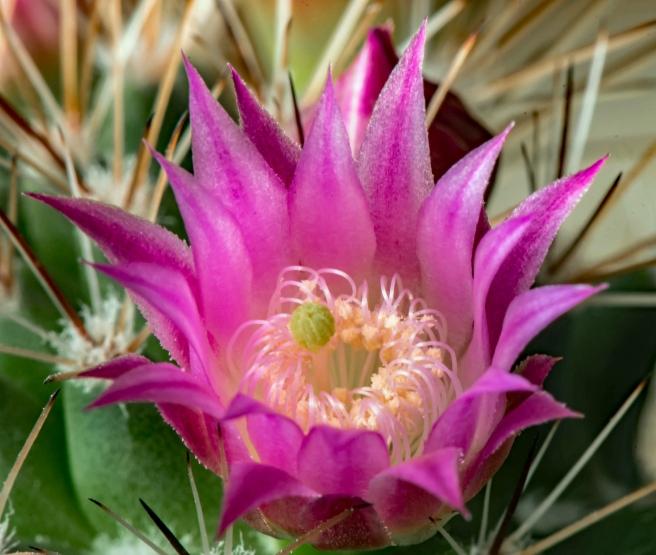 Cactusbloemen (2)