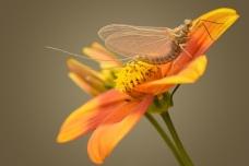 Eendagsvlieg ( haft)