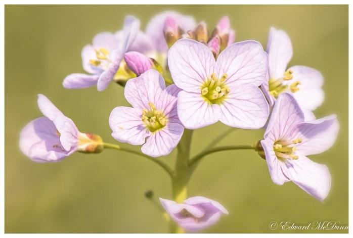 Pinksterbloemen (1)