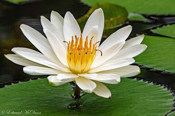 Lotusbloemen en waterlelies (1)