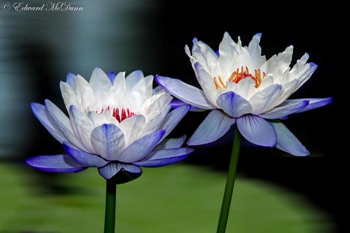 Lotusbloemen en waterlelies (3)