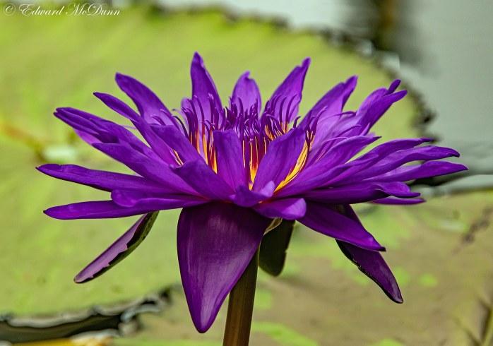 Lotusbloemen en waterlelies (6)
