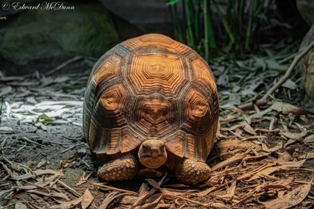 Ploegschaarschildpad (1)
