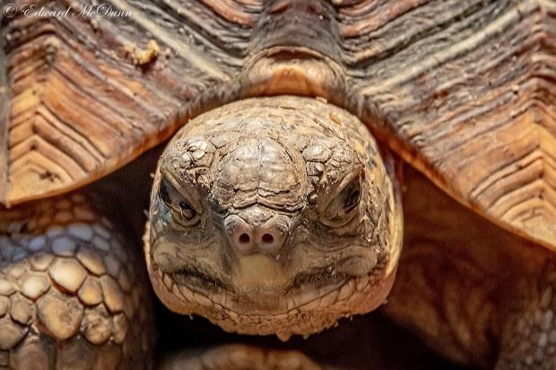 Ploegschaarschildpad (2)