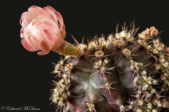 Bloeiende cactus (1)