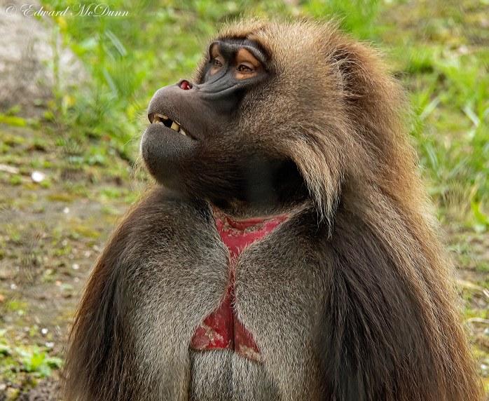 Gelada aap (1)