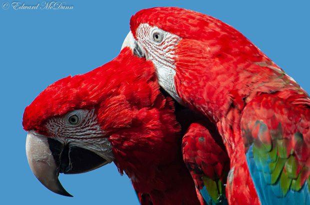Rode-blauwe ara