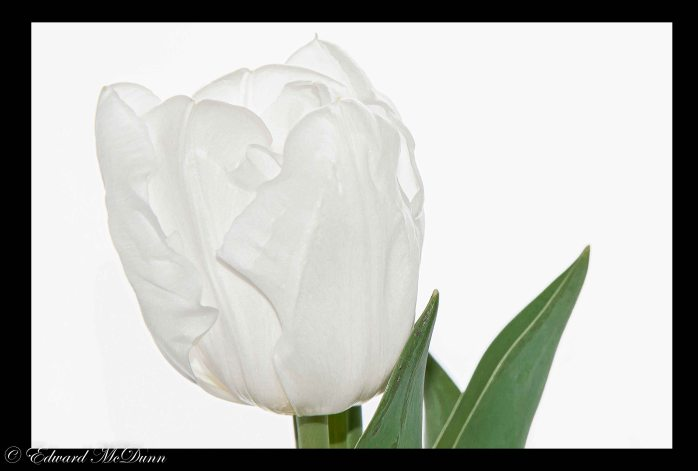 Witte tulp (1)